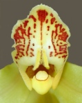 Orchid Face